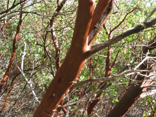 Hydesville, Califórnia: Madrone trees...these werre really cool!