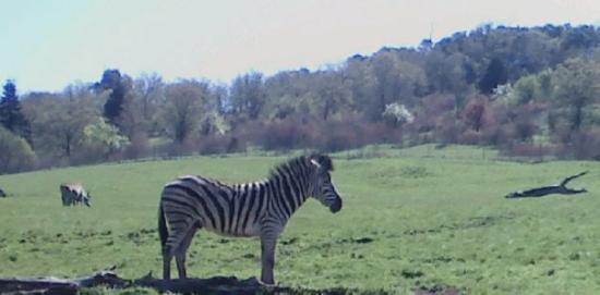 Roseburg, Орегон: Yup, it's a zebra.
