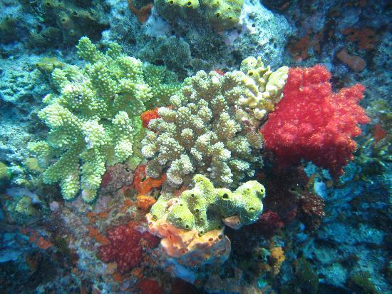 อินเตอร์คอนทิเน็นทอลฟิจิกอล์ฟรีสอร์ทแอนด์สปา: Soft Coral Scuba Dive