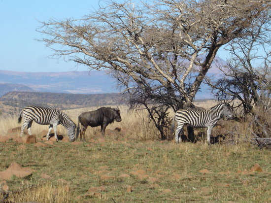 Ladysmith, Güney Afrika: zebra and wildebeest