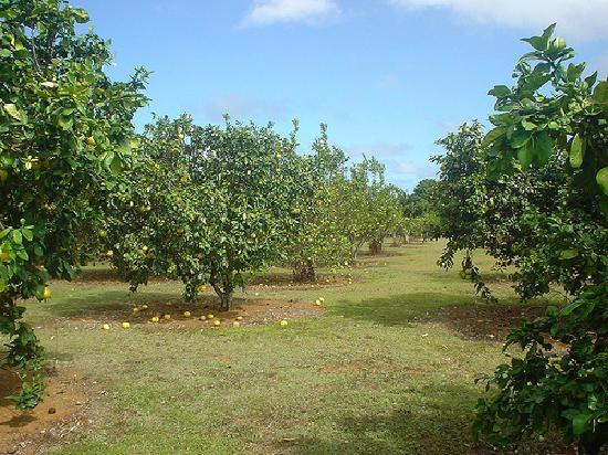 Green Acres Cottages: Citrus grove on the property!