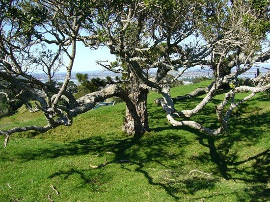 Mangere, Nowa Zelandia: wow! what a tree! we dont have those kinda trees back in Canada, well i dont think so! Im not a