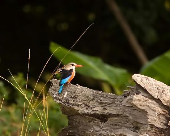 Bird Safari Camp: Grey-headed Kingfisher near B S Camp.