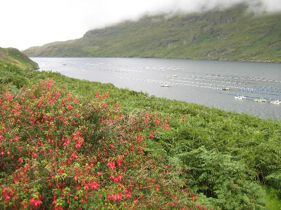 Sleepzone @ The Connemara Hostel: Blooming fuschias along the Kilary Fjord