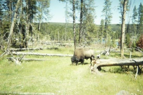 Greybull, WY: Wyoming 2006 - Yellowstone - Buffalo