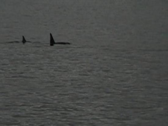 Major Marine Tours - Kenai Fjords Cruise: Orcas:)