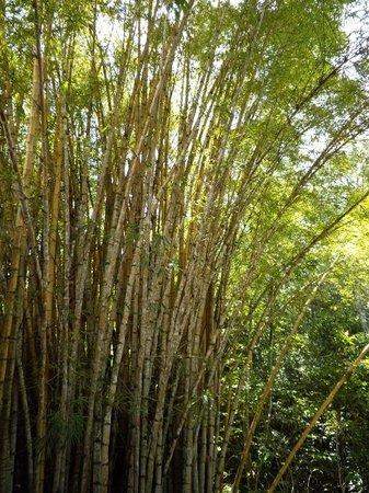 Cuiaba, MT : Lovely bamboo grove where we had lunch near Chapanda dos Guimaraes.