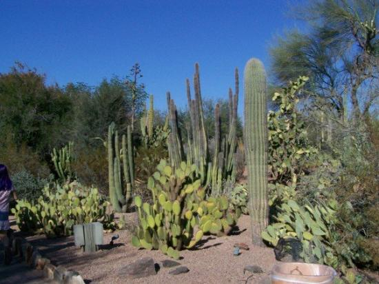 Desert Botanical Gardens Phoenix Arizona Foto Di Phoenix Arizona Centrale Tripadvisor