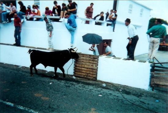 Pico, โปรตุเกส: Taunting Bull, Azores Islands, Portugal - 1998