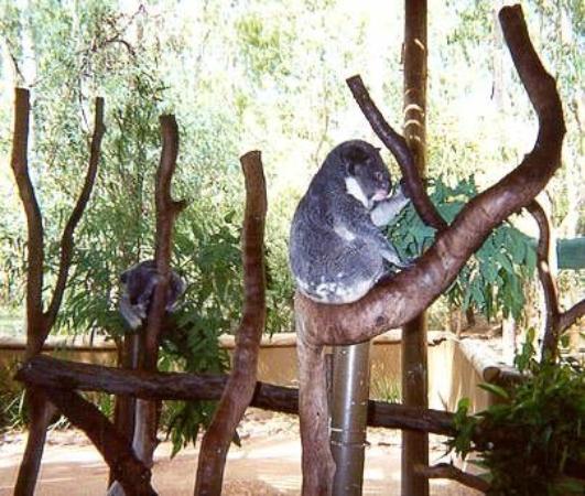 ทาวน์สวิลล์, ออสเตรเลีย: Koalas - Townesville, Australia