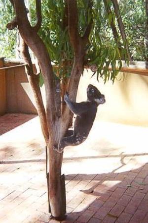 ทาวน์สวิลล์, ออสเตรเลีย: Koala - Townesville, Australia