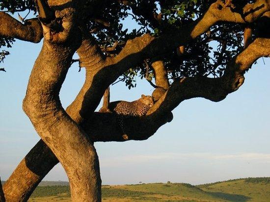 Nairóbi, Quênia: Leopard, Masai Mara