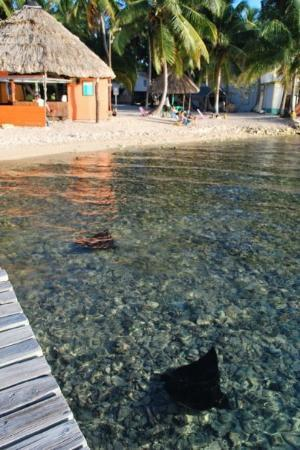 Tobacco Caye, Belize: Two Spotted Eagle Rays right next to the dock