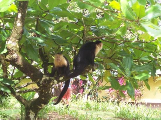 Drake Bay, Costa Rica: Capuchin (white-faced) monkeys at our hotel in Drake's Bay