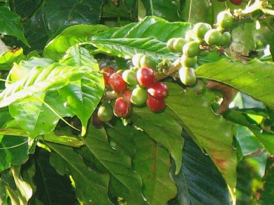 Hotel Mango Valley: In the midst of a coffee plantation