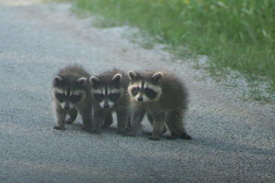 Lion's Head, Канада: these raccoons were on a road nearby