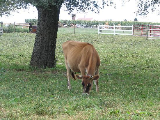Flory's Cottages & Camping: Cow in the pasture