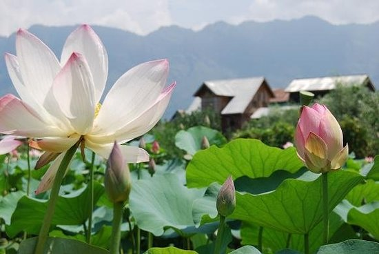 Lotus flowers, Srinagar, Cachemira