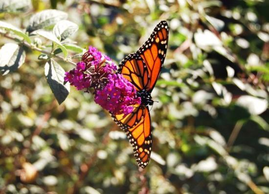 Tylerton, MD: A Monarch on Duke's butterfly bush...