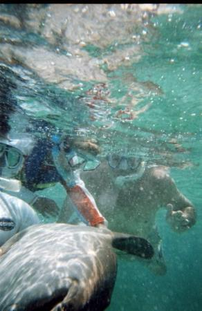 Ambergris Divers: Our son rubs a nurse shark's belly while snorkeling in Belize.
