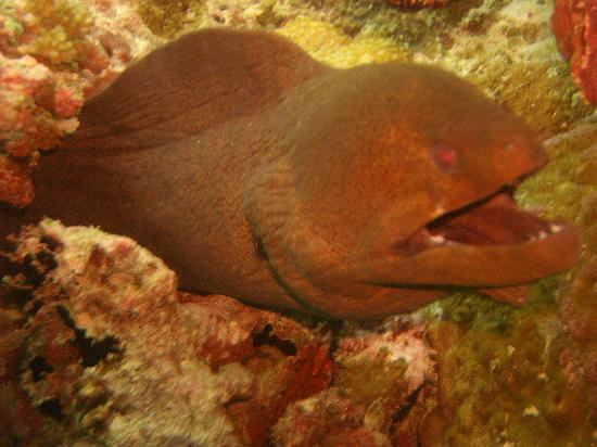 Veligandu Island Resort & Spa: moray eel on snorkelling trip, there were lots of these!!