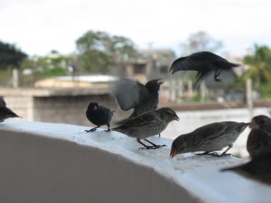 San Cristobal, الإكوادور: Darwin's finches on the balcony