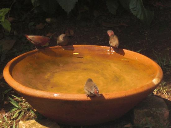 Hotel Gorillas City Center: Red fire thrushes dine with you in the garden