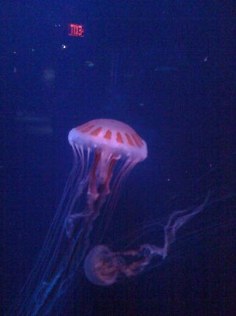 North Carolina Aquarium at Pine Knoll Shores: Another shot of this amazing jelly fish!