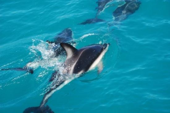 Whale Watch Kaikoura: Dolphins at Kaikoura
