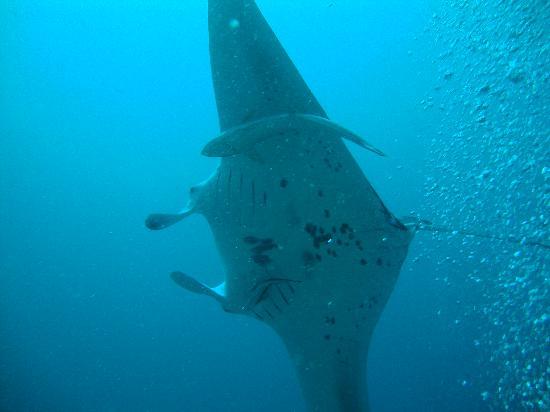 คุรีดุ ไอแลนด์ รีสอร์ท แอนด์ สปา: Manta whilst diving...awesome