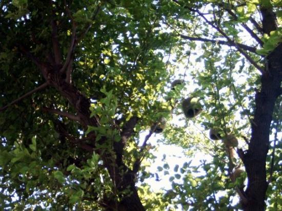 Gujranwala, Pakistan : hängende Vogelnester mit Öffnung nach unten