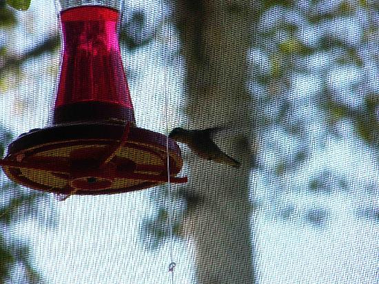 Astorville, Canada: Humming Bird