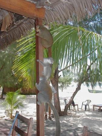 Antsiranana (Diego Suarez), มาดากัสการ์: Lémurien: Primate tropical proche du singe . C'est une espèce qui ne vit qu'à Madagascar !