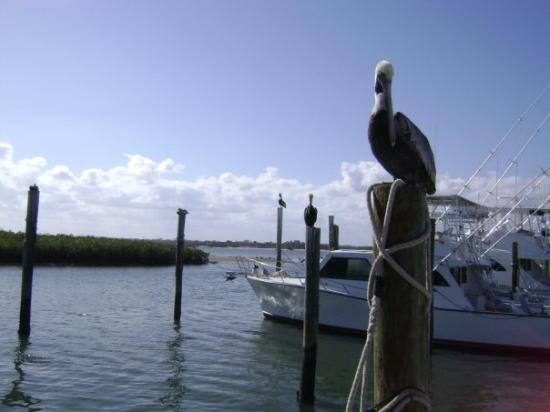 Ponce Inlet, FL: Pelican perched