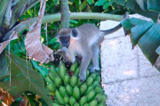 "ذا ليجيند جاردن كوندوز: ""4pm monkey show"" at the pool"