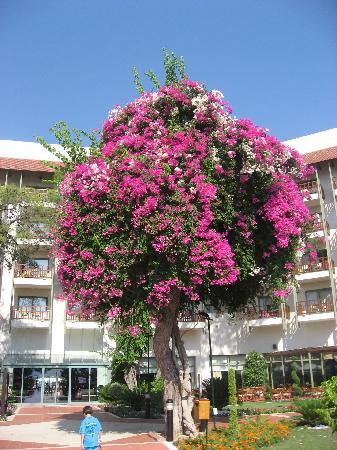 Club Med Palmiye: Un arbre recouvert de bougainvilliers. Superbe.