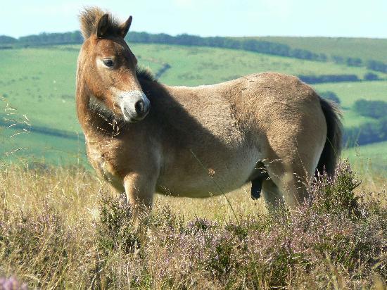 Lee House: An Exmoor Pony, more rare than the Giant Panda