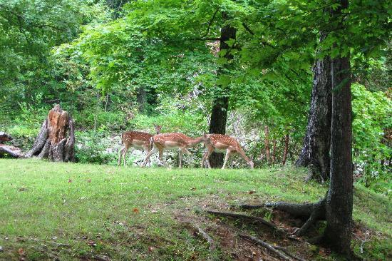 Land Between the Lakes National Recreation Area: Deer near the lake