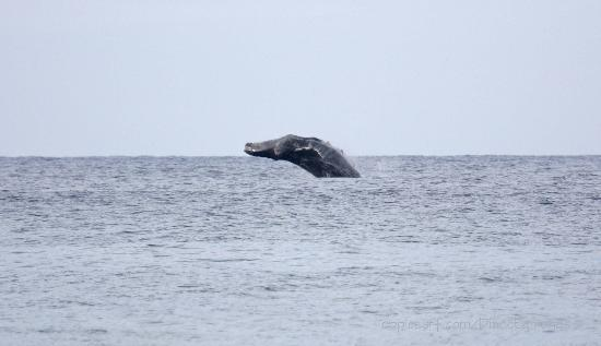 San Pedrito Surf Hotel : breaching whales in front