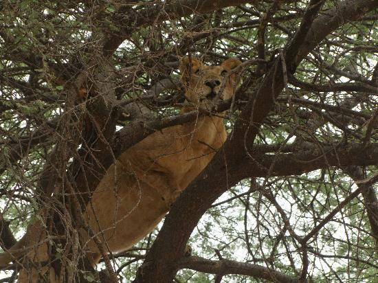 andBeyond Lake Manyara Tree Lodge: Tree climbing Lion