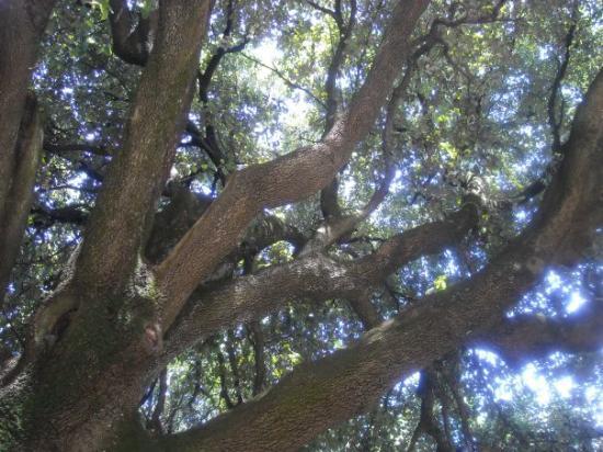Giardino Frontone : Rami di Leccio dei Giardini del Frontone, Perugia