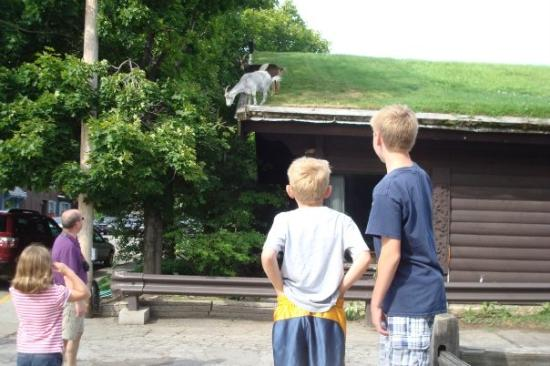 The goats on the roof of Al Johnson's restaurant in Sister Bay (didn't go in to eat, though -- j