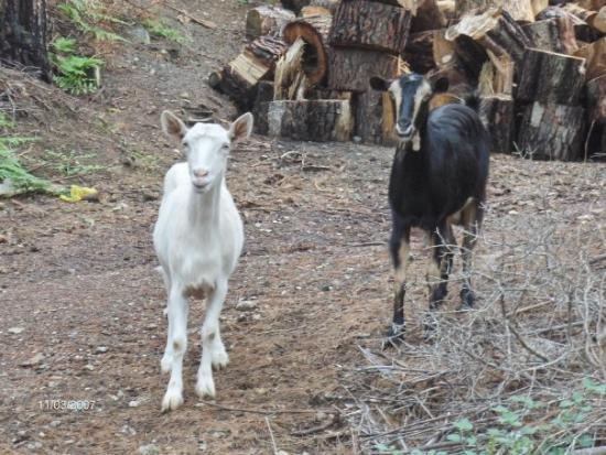 Khalkis, Greece: Goats on Evia Island, just across the bridge from Mainland Greece to the city/town of Chalkis