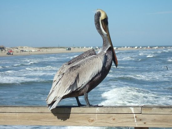 Port Aransas, TX: pelican at Mustang Island