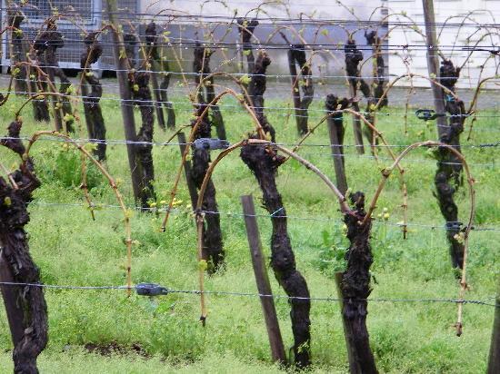 Ferien Weingut Schneider: Some of the Schneider Family vineyards near their hotel.  We enjoyed their 2006 Riesling-Hochgew