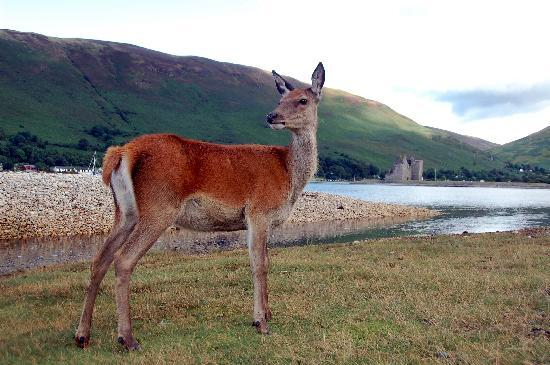 The Barn B&B: Doe, a deer, a female deer, Arran.