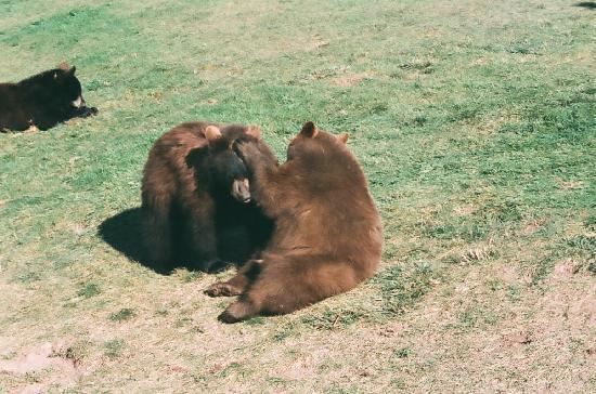 Bear Country USA: Cubs at play Babyland