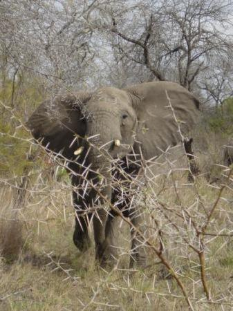 Londolozi Private Game Reserve: one friendly elephant