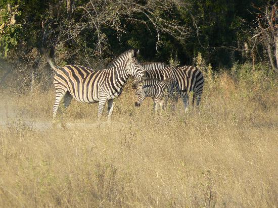 Pom Pom Camp: Zebra
