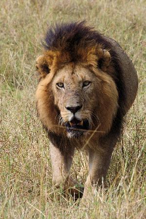 Rekero Camp, Asilia Africa: Pride of Mara
